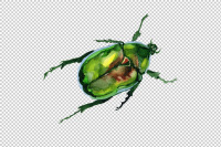 May Beetle Aurata Watercolor Png By Mystocks Thehungryjpeg Com