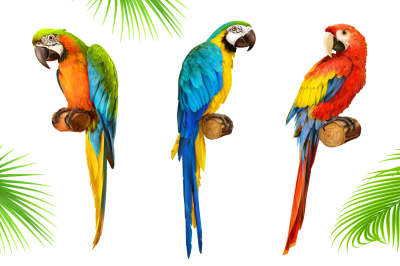 Ara parrot. Macaw. Vector icon set