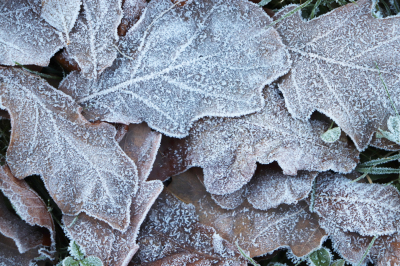 Frost Ice on Forest Oak Leaves. Shining Frosted Leafs Surface.
