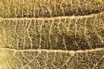 Frosted Leaf Surface Texture. Frost Ice on Forest Morning. Natural Floral Pattern Background. Macro Closeup.