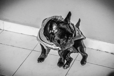 B&W image of a gorgeous French Bulldog with sweater on the ground, hard and contrasting light.