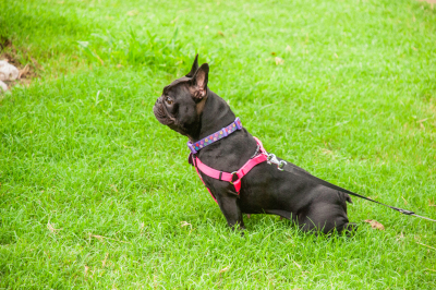 Picture of a beautiful French Bulldog profiled in a meadow on the green grass.