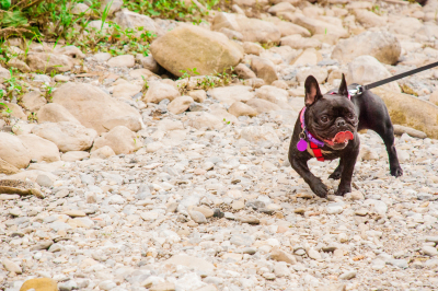 Adorable French Bulldog with leash, walking on a cobblestone.
