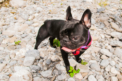 Lovely French Bulldog, on a cobblestone next to the river.