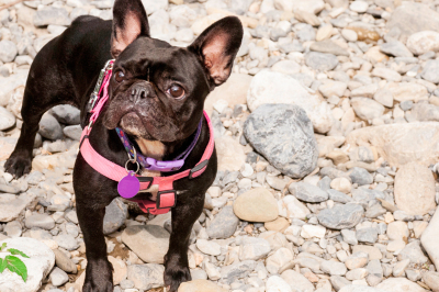 Adorable French Bulldog, on a cobblestone and watchful.