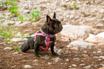 Adorable French Bulldog, very watchful, in the park next to some stones.