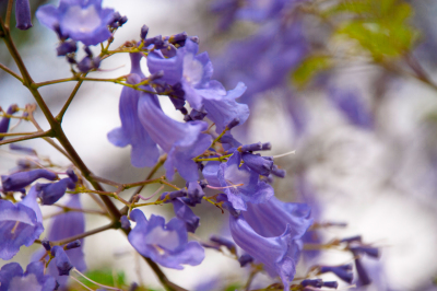 Beautiful jacaranda flowers II