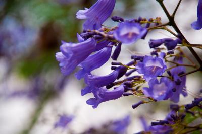 Beautiful jacaranda flowers III
