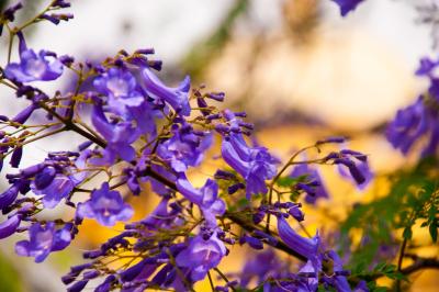 Beautiful jacaranda flowers IV