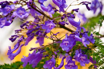 Beautiful jacaranda flowers V