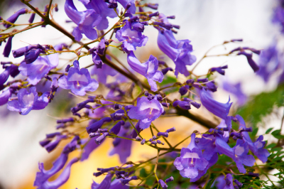 Beautiful jacaranda flowers VII