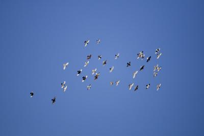 constellation of flying birds (5 photos)
