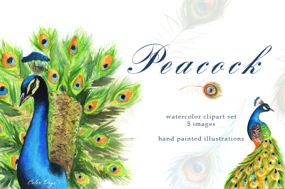 Watercolor Clipart - Peacock. Birds & Feathers