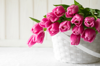 Violet tulips bouquet in basket in front of white wooden wall