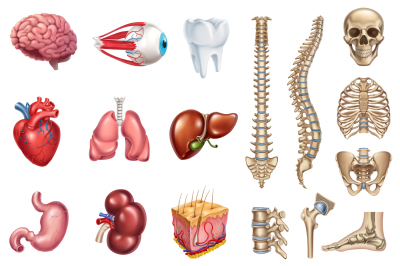 Human skeleton structure, internal organs. Vector set