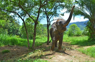 asian, indian elephant raised trunk, trumpet up in jungle