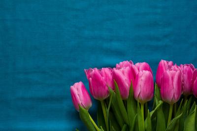 Beautiful tulips on blue textile background