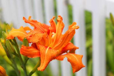 Blazing Orange Lily