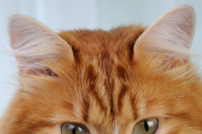 Portrait of a seated adult red cat close-up