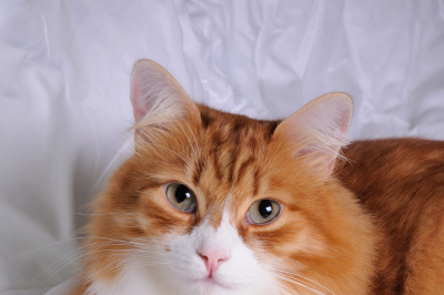 Red-headed cat lying on white, soft, fluffy blanket closeup
