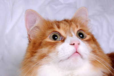 Head red-headed cat looking up, very focused closeup