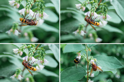 Hard-working bee collects nectar, four photos with a resolution of 300 dpi in JPEG format to create greeting cards, illustrations and printing