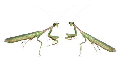 Photo two praying mantis, isolated, files formats a JPEG on a white background on transparent PNG and TIF with layers, 300 dpi to create a greeting card, illustration and print
