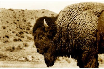 Buffalo #1