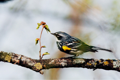 The Warbler