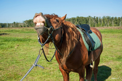Horse sniffing the air and showing teeth, 2 photos