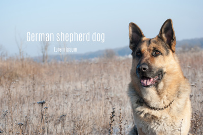 Dog breed German shepherd portrait on nature