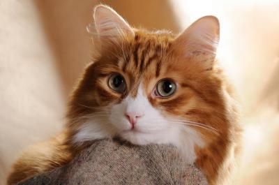 Portrait of a red cat close-up