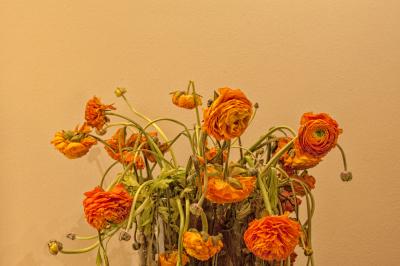 Orange buttercups in a vase