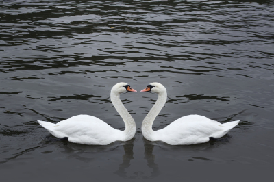 Romantic swan couple in black water