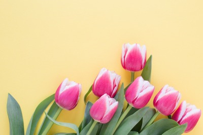 Tulips on yellow background.
