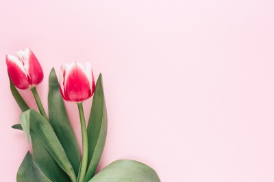 Tulips on pink background.