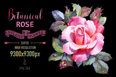 Rose flower botanical illustration