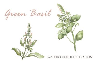 Green Basil Botanical Illustration