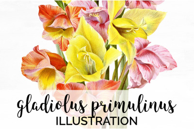 Gladiolus Clipart