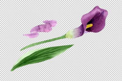 Aquarelle purple callas PNG watercolor set