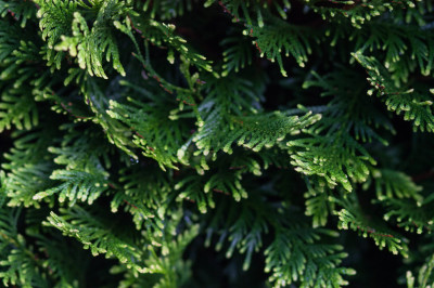 Natural backgrounds. Branches of evergreen tree