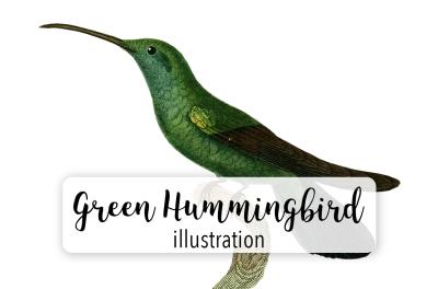 Birds: Green Hummingbird
