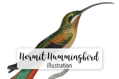 Birds: Long-tailed Hermit Female Hummingbird