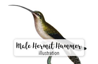 Birds: Long-tailed Hermit Male Hummingbird
