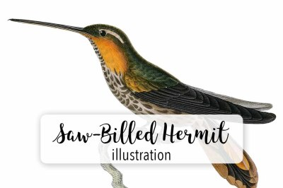 Birds: Vintage Saw-Billed Hermit Hummingbird