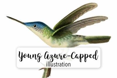 Birds: Vintage Young Azure-Capped Hummingbird