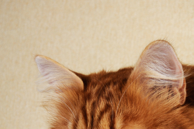 Portrait of a fluffy red-headed cat close-up