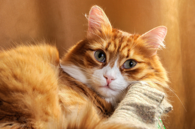 Red-headed cat