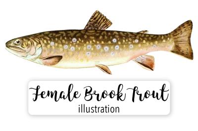Fish: Vintage Adult Female Brook Trout Salvelinus Fontinalis