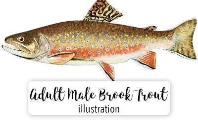 Fish: Vintage Adult Male Brook Trout Salvelinus-Fontinalis 1